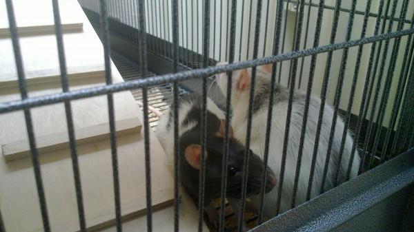 Kuschelnde Ratten